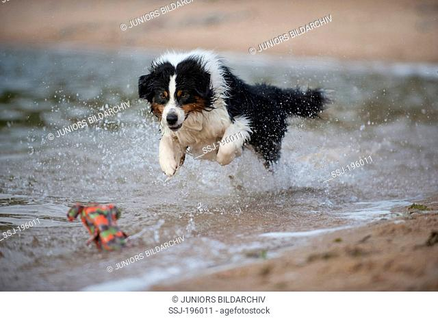 Australian Shepherd running through water in order to fetch a toy Germany