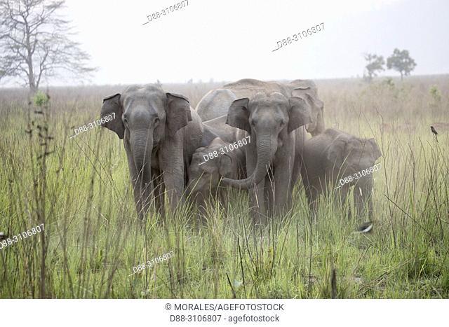 Asia, India, Uttarakhand, Jim Corbett National Park, Asian or Asiatic elephant (Elephas maximus). in a grassland