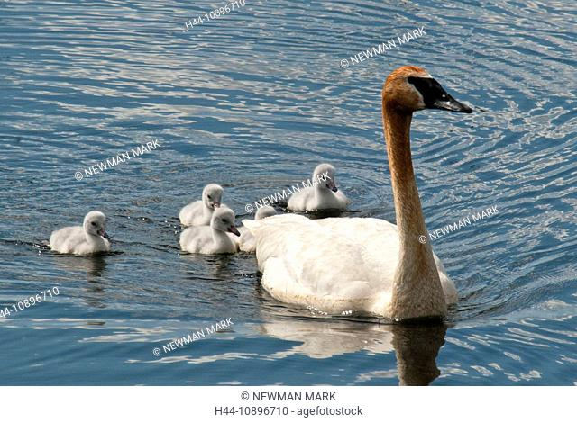 trumpeter swan, cygnets, Cygnus buccinator, Yukon, Canada, North America, chickens, young, America, birds, animals, swimming