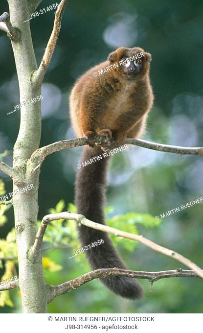 Red-bellied Lemur (Eulemur rubriventer). Madagascar