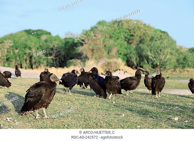 Black Vultures Myakka River State Park Florida USA Coragyps atratus