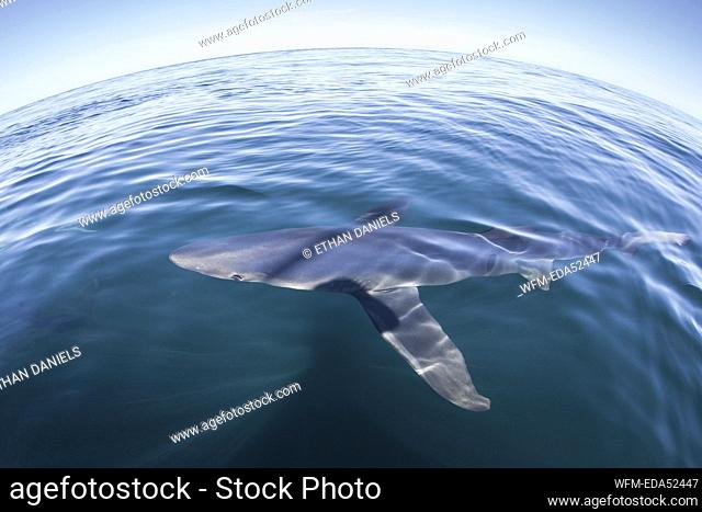 Blue Shark, Prionace glauca, Massachusetts, Cape Cod, USA