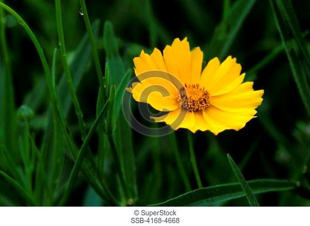 USA, Texas, Austin, National Wildflower Research Center, Close-up of Lanceleaf Coreopsis