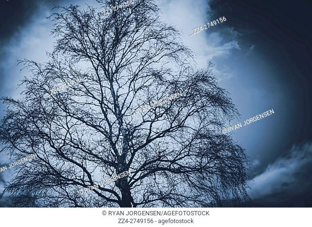 Storm clouds gather behind an eerie spidery tree with bare branches silhouetted against the darkening sky in a winter, Halloween or horror background