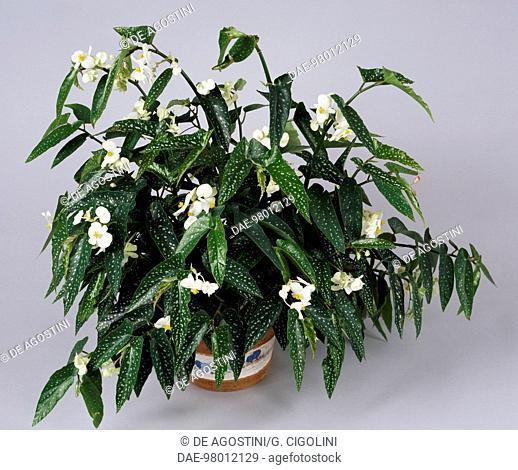 Tamaya (Tamaya sp) with white flowers, Begoniaceae