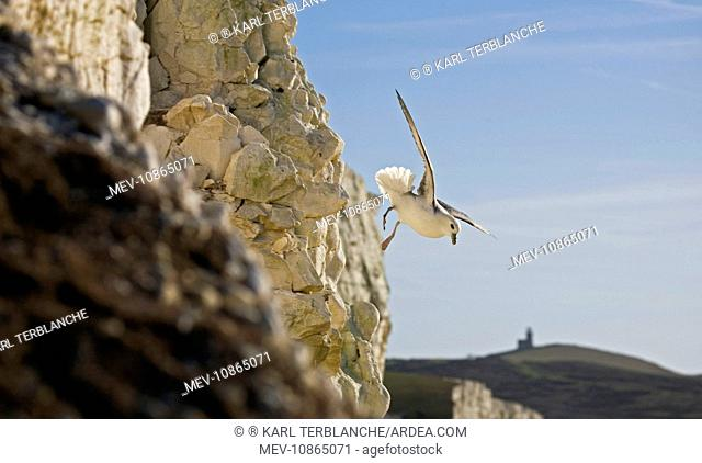 Fulmar Petrel - in flight over the Seven Sisters (Fulmarus glacialis). South Downs, East Sussex, UK