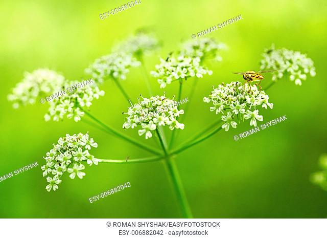 Wild Dill (Perideridia americana). Close up view