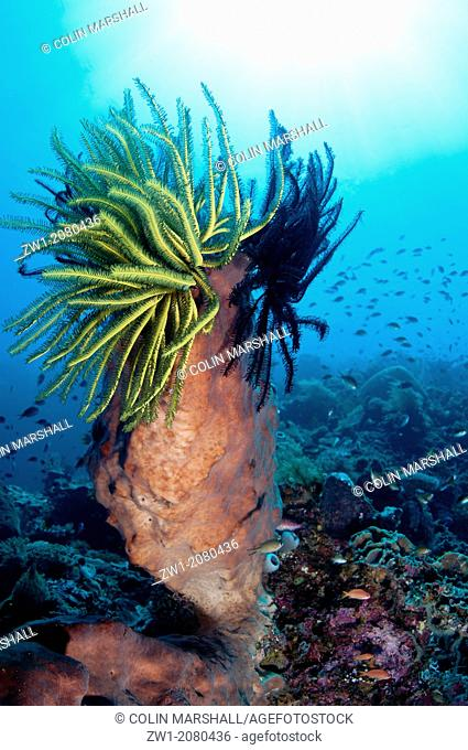 Crinoids on Barrel Sponge (Xestospongia testudinaria) with sun in background near Alor in Indonesia