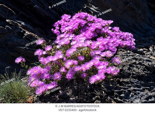 Trailing iceplant (Delosperma cooperi or Mesembryanthemum cooperi) is a prostrate plant native to South Africa and naturalized in Mediterranean region
