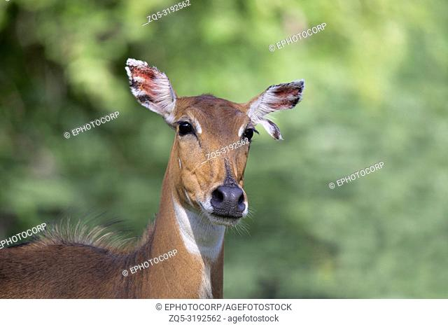 Blue Bull female, Boselaphus tragocamelus, close-up Jhalana, Rajasthan, India