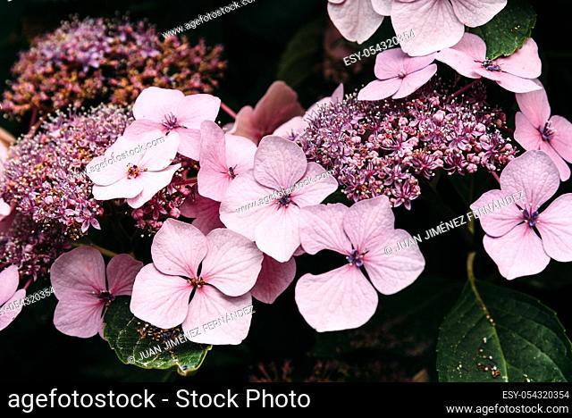 Beautiful Hydrangea Serrata Juno flowers background, pink and green color