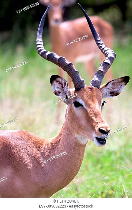 Impala antelope. South Africa, Kruger's National Park