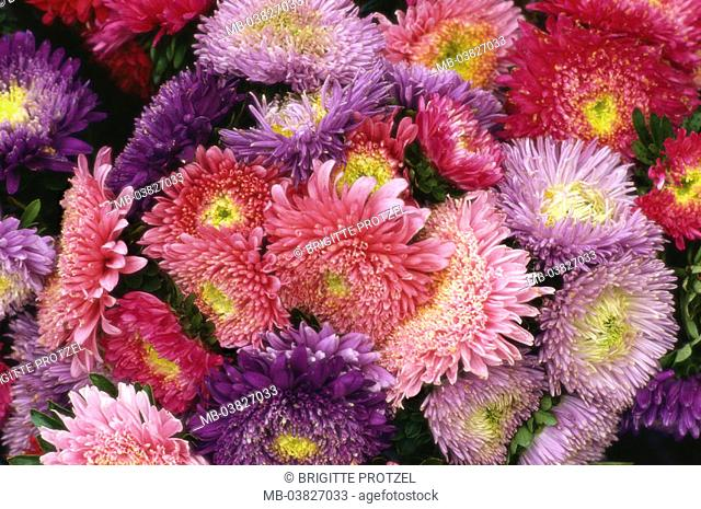 Flowers, asters, blooms, detail,    Plants, composites, garden flowers, ornament flowers, summer flowers, bloom splendor, densely, narrowly, blooms, from above