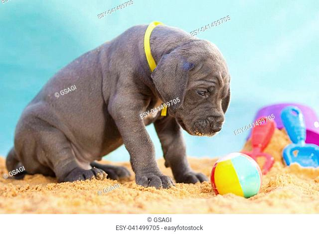 Gray Great Dane puppy purebred waiting to play with a ball