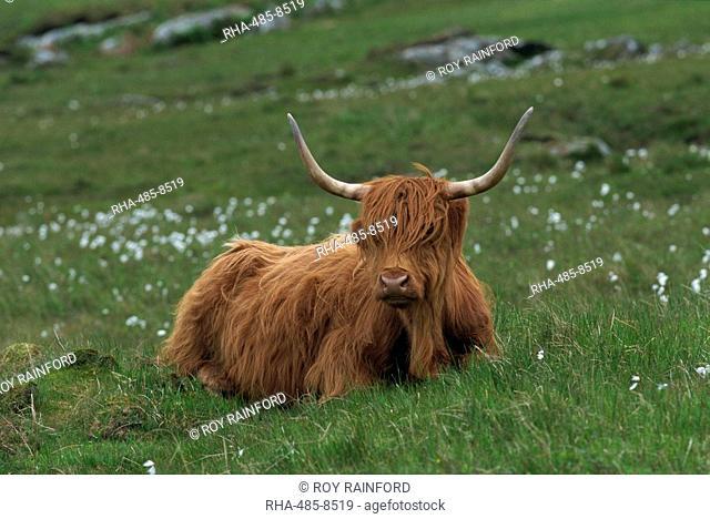 Highland cattle, Isle of Mull, Scotland, United Kingdom, Europe