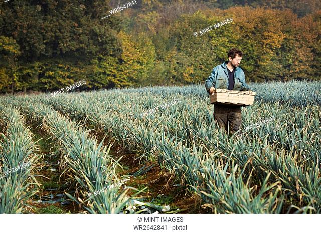 A man carrying a crate of freshly picked vegetables in a field of leeks