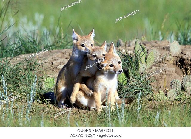 Swift fox pups playing near the den, southern Saskatchewan, Canada
