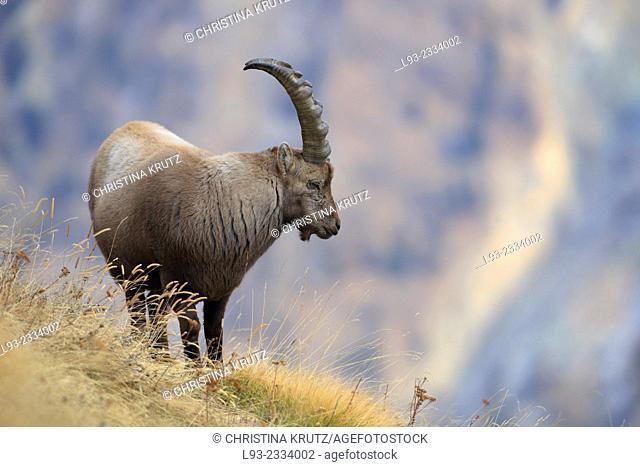 Ibex, Capra ibex, Gran Paradiso National Park, Italy
