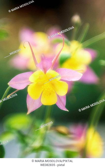 Pink and Yellow Columbine Flowers.  Aquilegia caerulea. April 2008. Maryland, USA