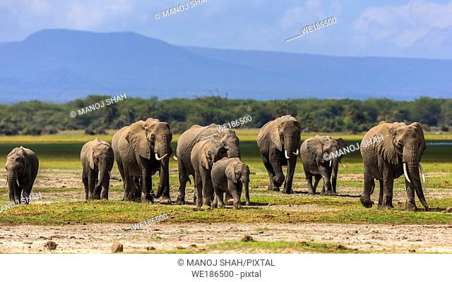 African Elephant herd walking on marshy area of Amboseli National park, Kenya