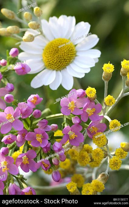 Centaurium (Centaurium), Divine Mercy Herb, Lauric Herb, Sanctuary Herb