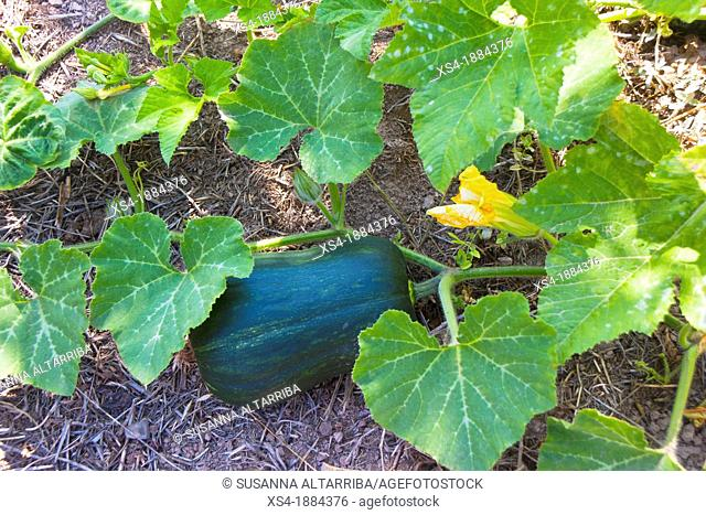 Butternut Pumpkins, Pumpkins Cucubita spp    The pumpkin on the photo is half to grown, when the closer leaf are dried, it's will collect  The photo is also a...