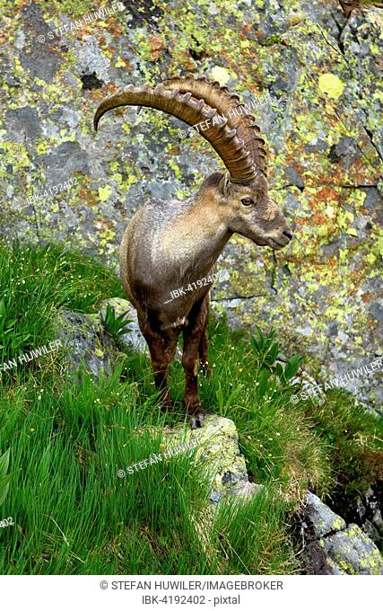 Alpine Ibex (Capra ibex) standing in front of rock wall, near Chamonix, France
