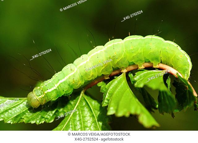 Moth green caterpillar