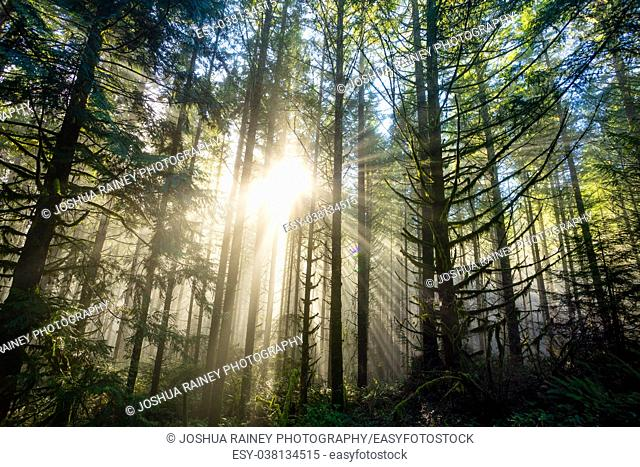 Sun bursts through tall fir trees in a dense forest in Oregon. Rays of light come down from the heavens in an epic landscape image