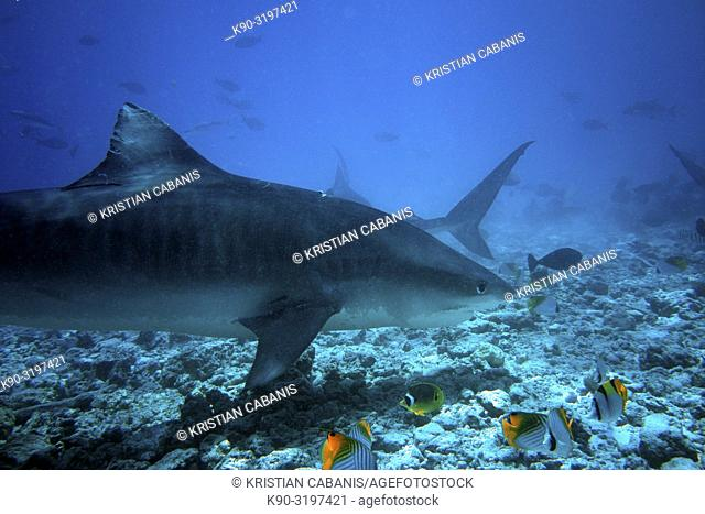 Tiger Shark (Galeocerdo cuvier) swimming across the reef in search for food, Indian Ocean, Maldives, South Asia