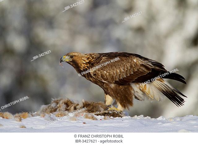 Golden Eagle (Aquila chrysaetos) with a captured rabbit in winter