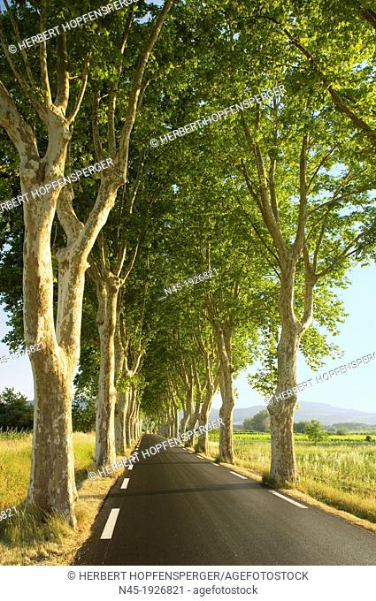 Plane Trees; Platanus orientalis; Trees Lined Road in Provence; France