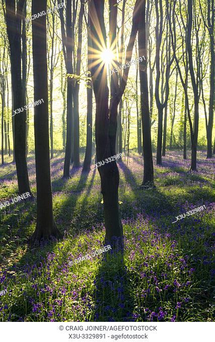 Bluebell woodland sunrise in spring. North Somerset, England