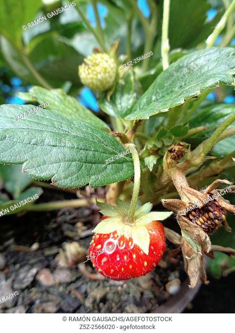 Strawberry (Fragaria vesca). Catalonia, Spain