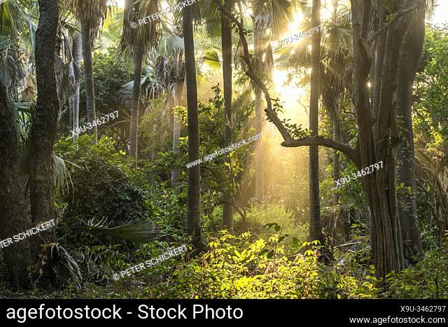 Sonnenstrahlen im Urwald, Bijilo Forest Park, Bijilo, Gambia, Westafrika | sun rays in the jungle, Bijilo Forest Park, Bijilo, Gambia, West Africa,