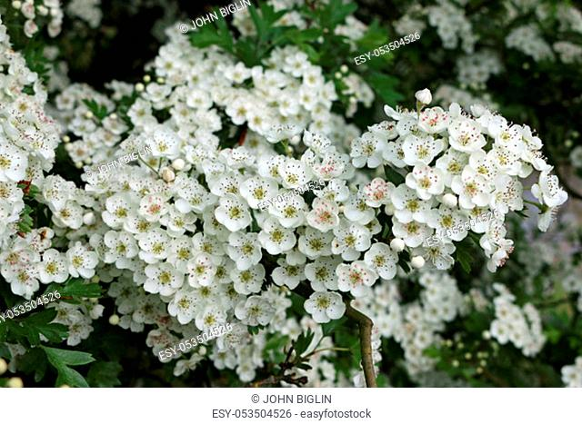 Hawthorn tree (Crataegus monogyna) flowers in springtime with the flowers near their best with a dark and blurred background of leaves