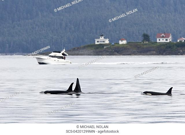 Private boat near a gathering of several Orca Orcinus orca pods in Chatham Strait, Southeast Alaska, USA Pacific Ocean These animals numbered in the many tens