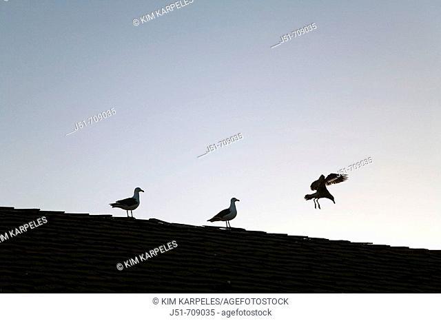 USA, California, Santa Barbara: two gulls sitting on roof of building, third gull landing, silhouette of three birds