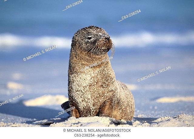 Sea Lion (Zalophus californianus) pup in Gardner Bay. Española Island. Galapagos. Ecuador