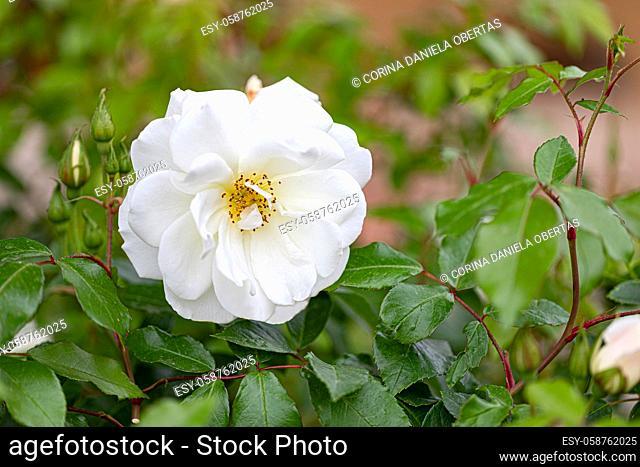 White rose in bloom in a garden