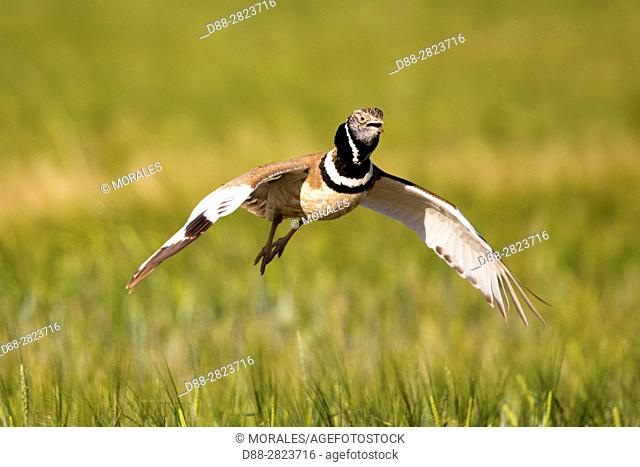Europe, Spain, Catalonia, male Little bustard (Tetrax tetrax), displaying in a field with poppies