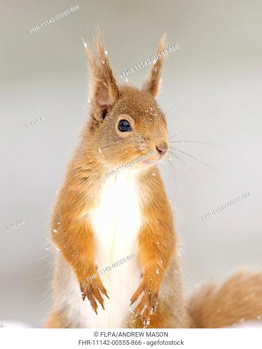 Eurasian Red Squirrel (Sciurus vulgaris) adult, close-up of head and front legs, sitting on snow in coniferous forest, Cairngorms N.P