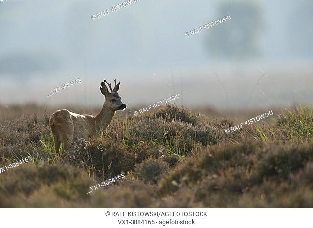 Shy Roe Deer ( Capreolus capreolus ) stands in misty heather, wildlife, Europe