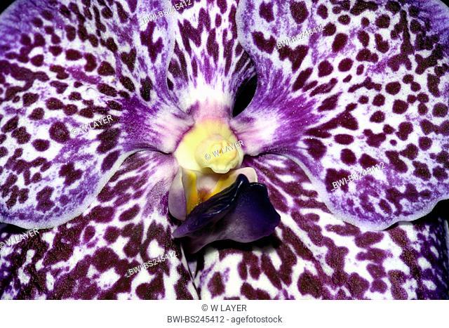 Vanda Vanda Exotic Purple, detail