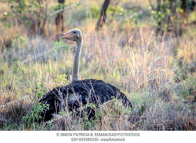 Male Ostrich laying in the grass in the Welgevonden game reserve, South Africa