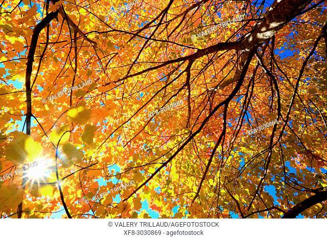 Autumn foliage. Parc naturel régional des Préalpes d'Azur, Alpes-Maritimes, 06, Cote d'Azur, PACA, France