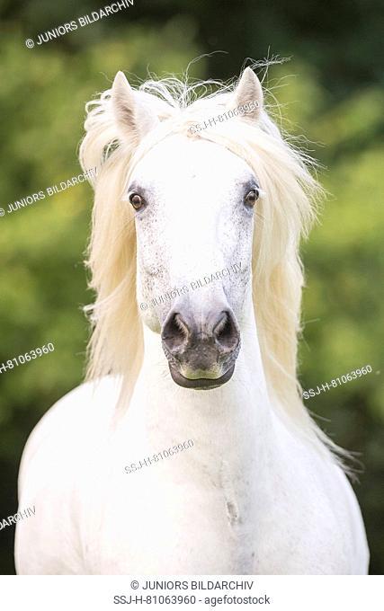 Highland Pony. Portrait of adult gelding. Germany