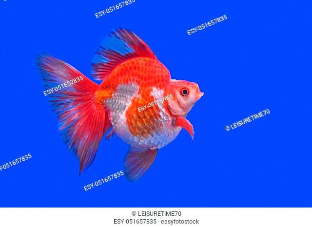 Beautiful Goldfish In The Aquarium Stock Photo Picture And Low Budget Royalty Free Image Pic Esy 051657835 Agefotostock