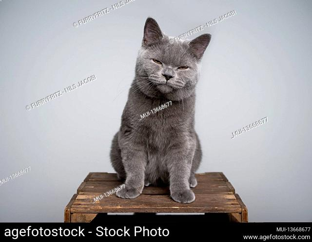annoyed british shorthair kitten sitting on wooden crate making grumpy face with copy space