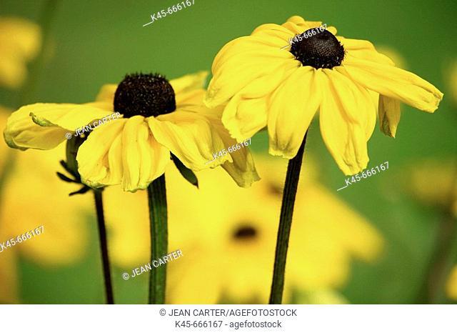 Black-eyed Susan (Rudbeckia hirta). Private garden at Cannon Beach. Northern Oregon coast. USA